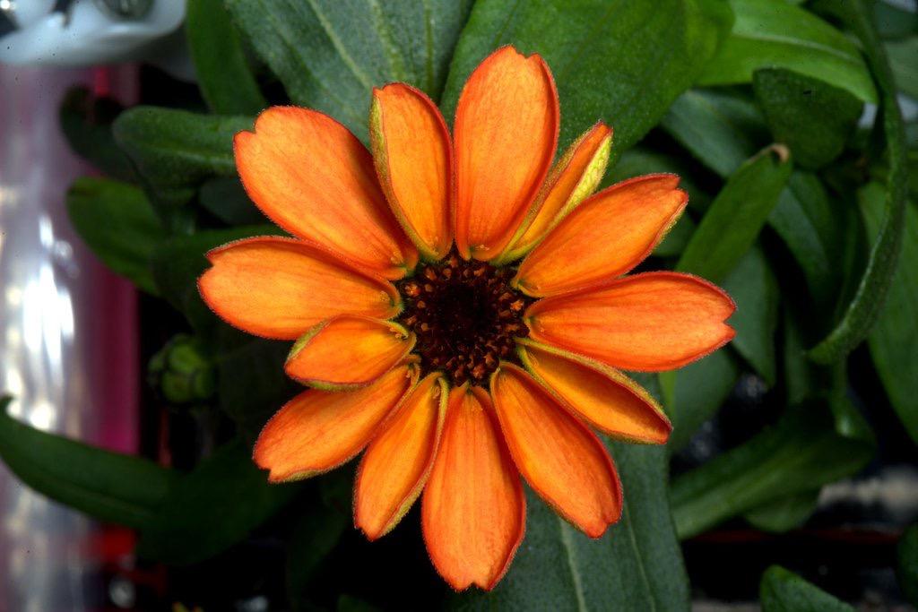 Το Πρώτο Λουλούδι που Καλλιεργήθηκε στο Διάστημα